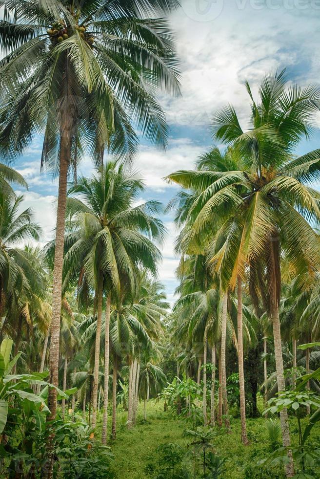 floresta de coqueiros foto