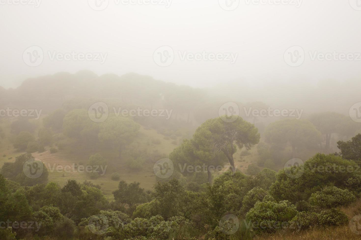 floresta de pinheiros envolta em névoa foto