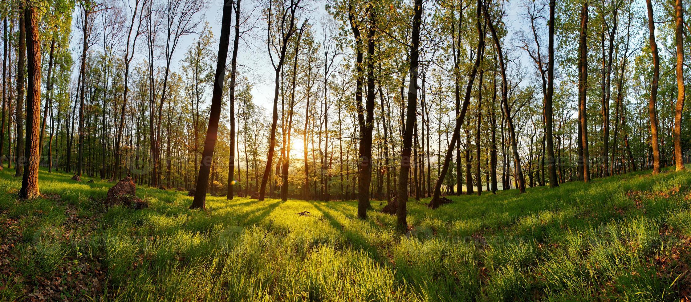 panorama da floresta de primavera com sol foto