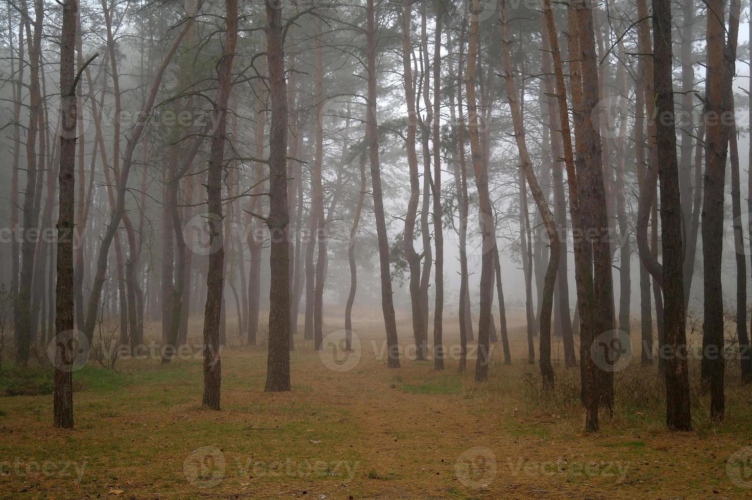 pinheiros na floresta com manhã foto