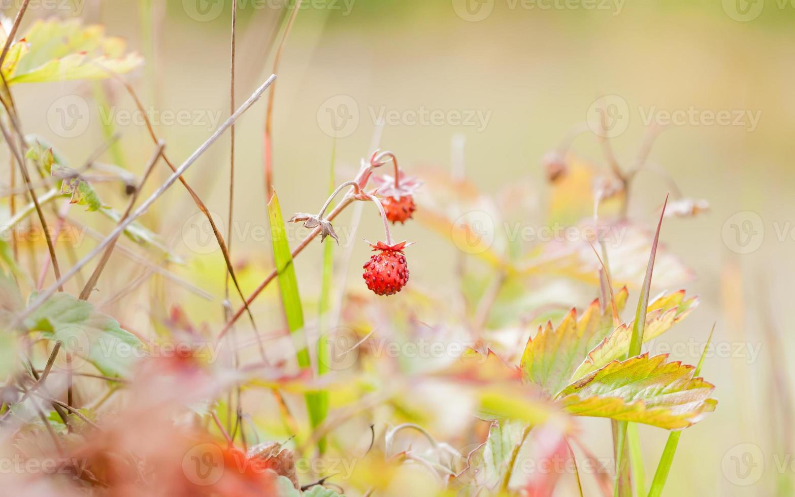 pequenos morangos silvestres na floresta foto