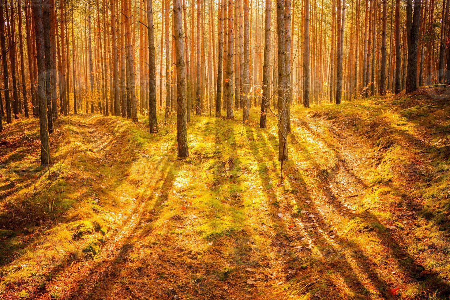 amanhecer na velha floresta de verão foto