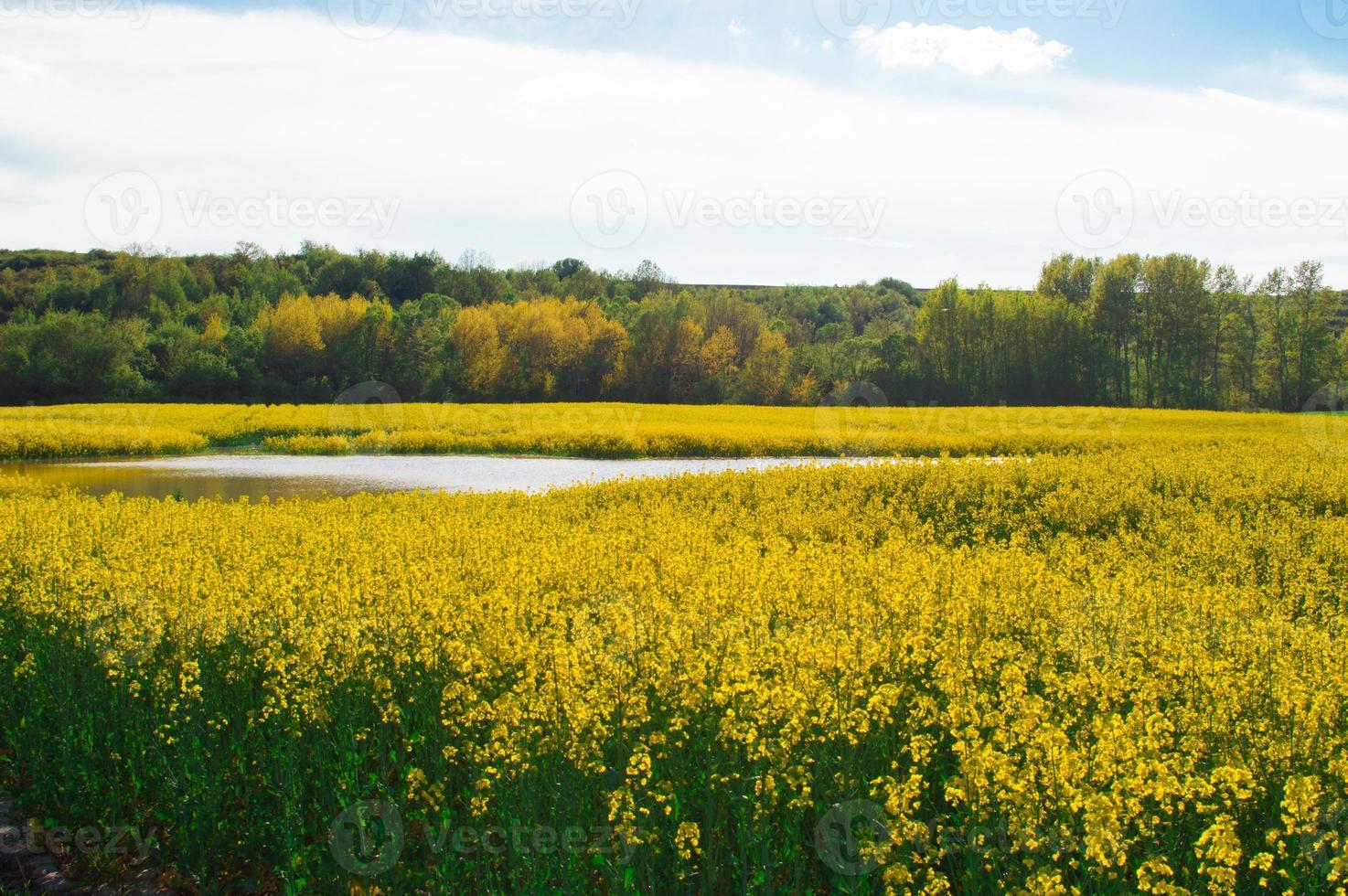campo de canola com água e floresta foto