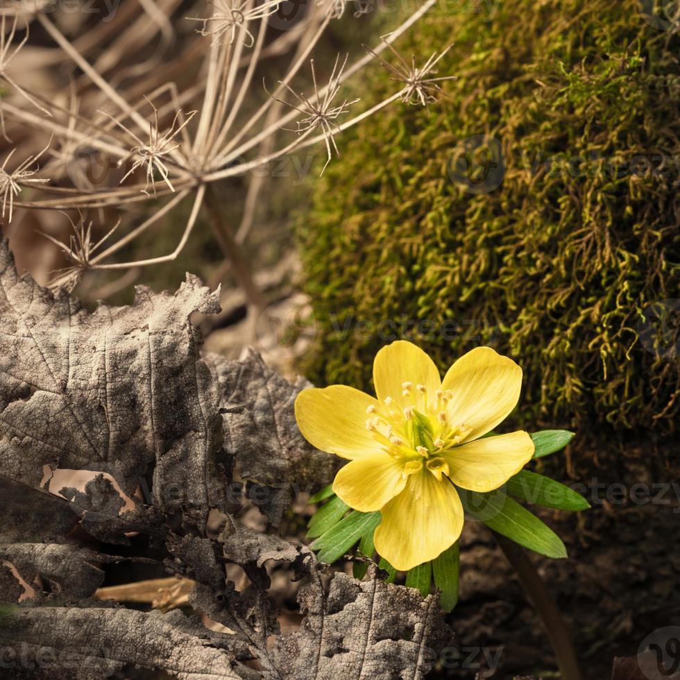 Acônito de inverno selvagem na floresta de primavera foto