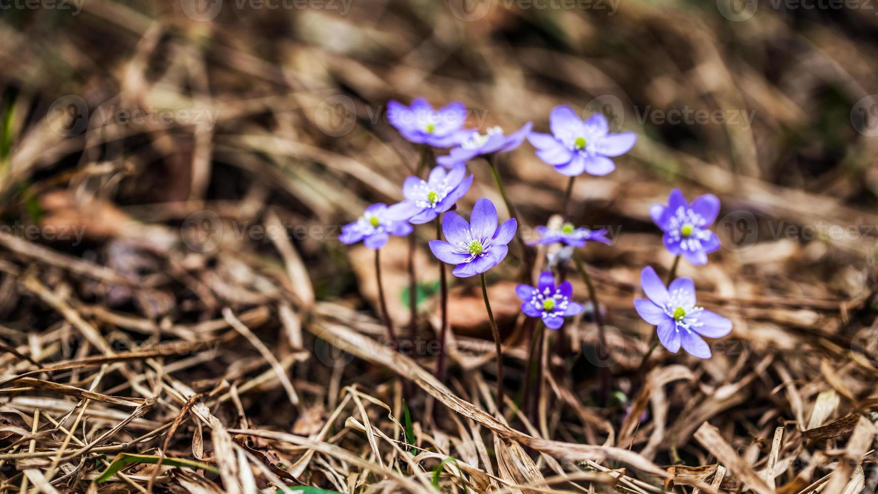 flor de hepática foto