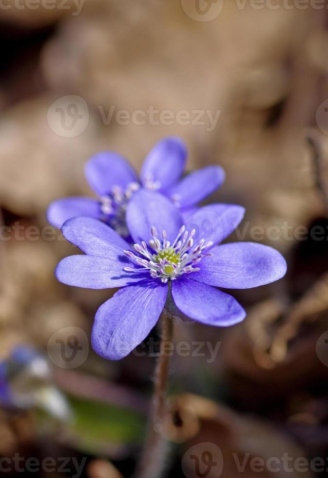 primeiras flores azuis da primavera, violetas na floresta foto
