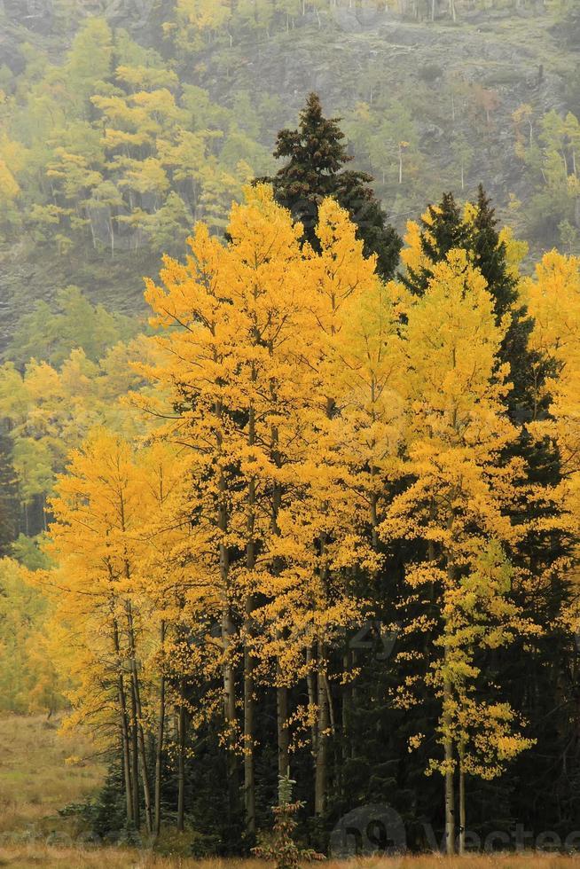 árvores de álamo tremedor com cor de outono, floresta nacional incomum, colora foto