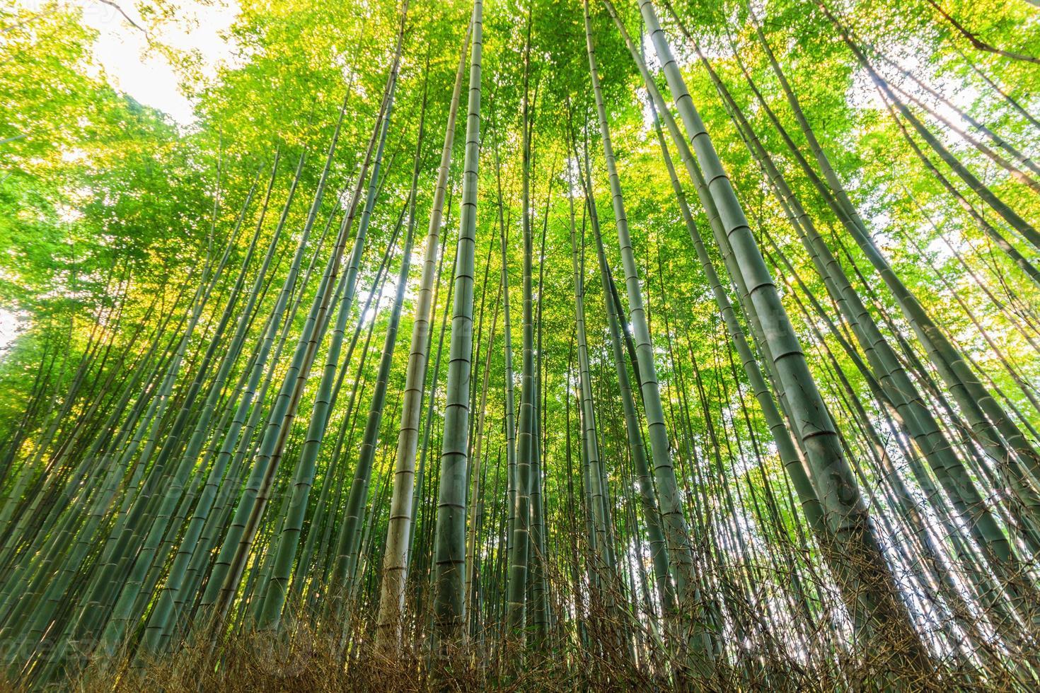 bosques de bambu, floresta de bambu. foto