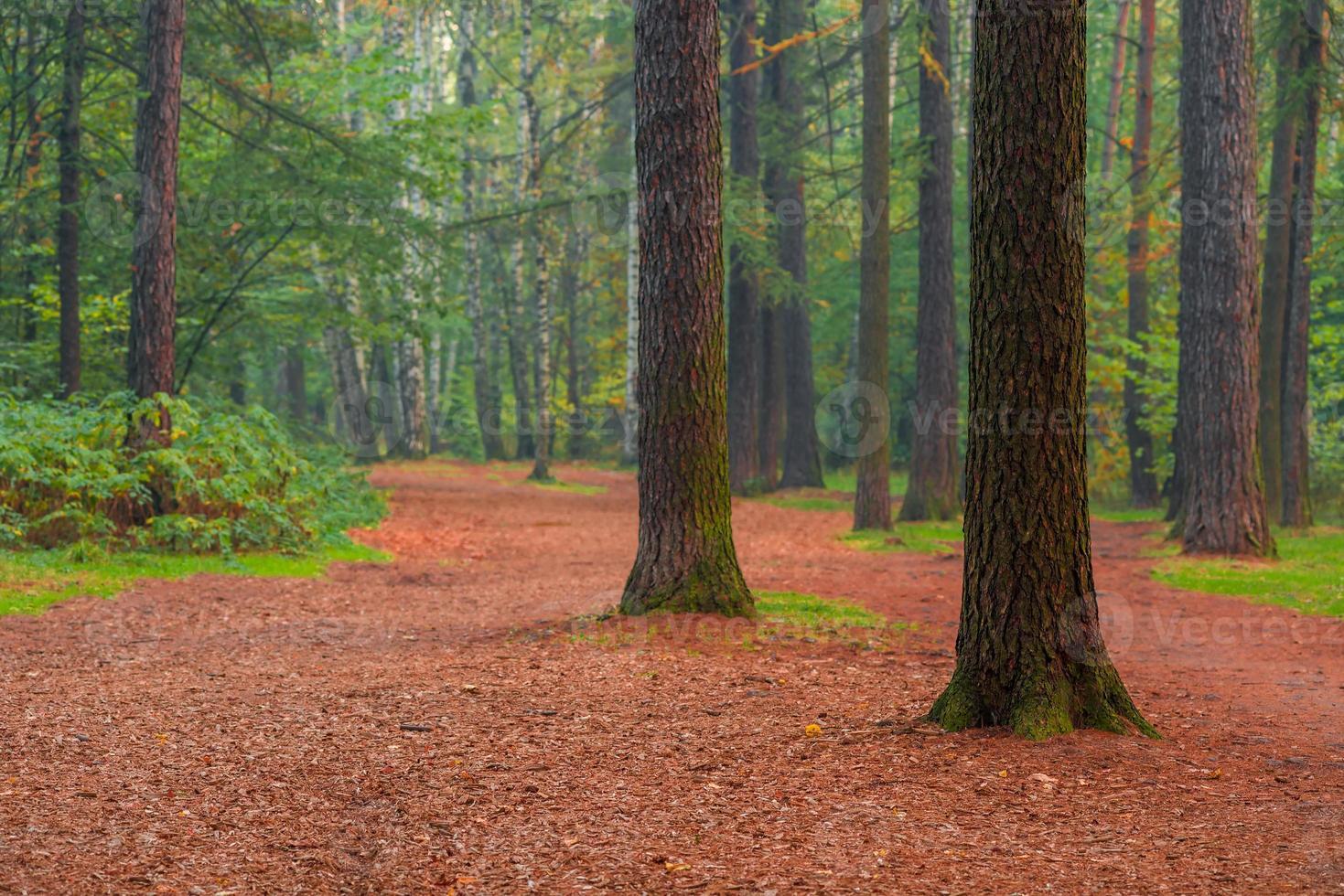 belas árvores altas na manhã da floresta de verão foto