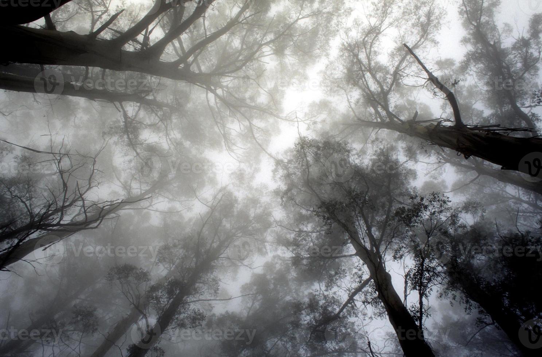 copa de árvore de eucalipto na neblina foto