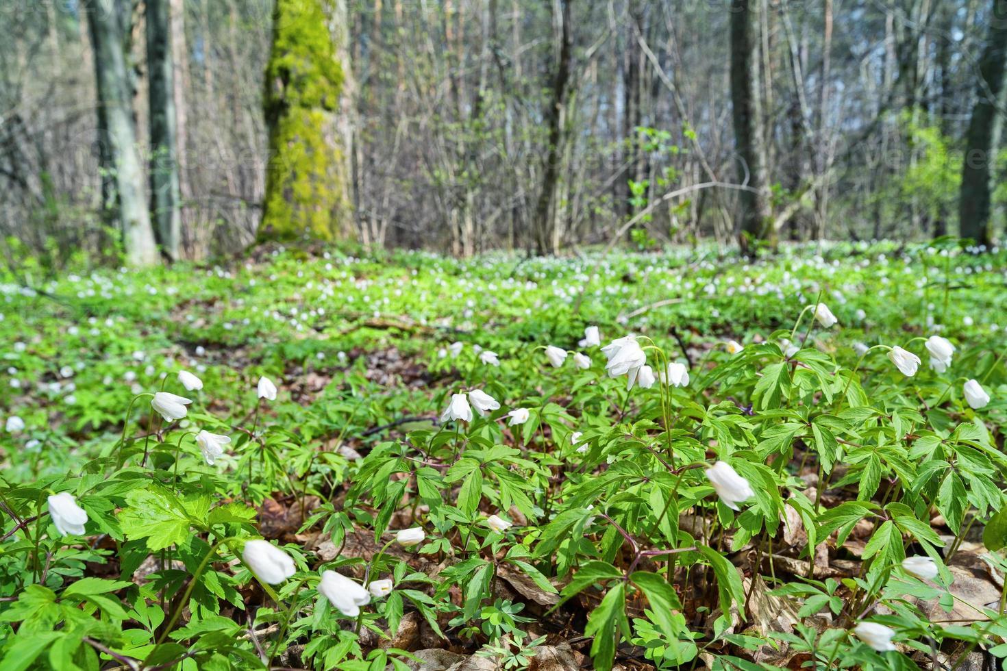 snowdrops na floresta. foto