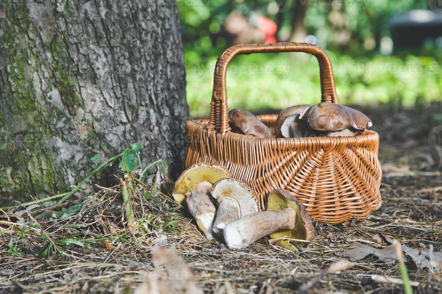 grupo de cogumelos brancos perto de uma cesta de vime na floresta foto