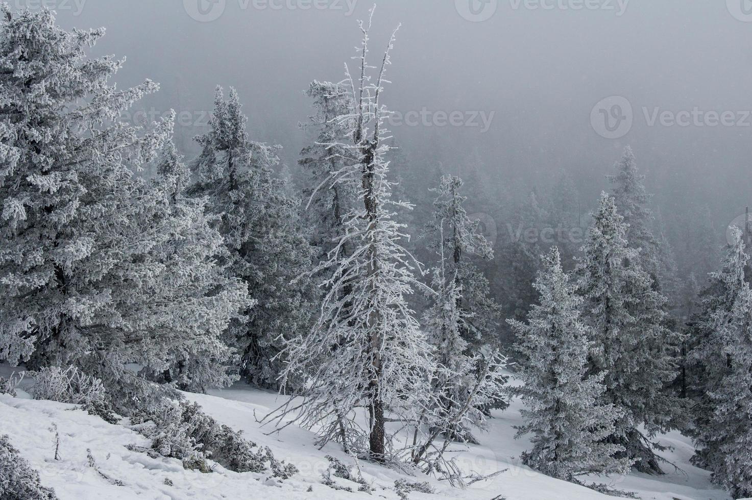 floresta coberta de neve nas encostas da montanha. foto