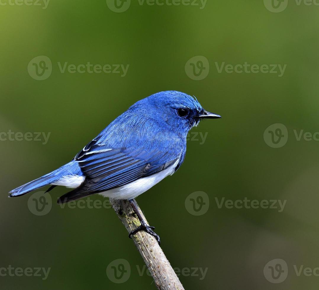 macho do papa-moscas ultramar, o lindo pássaro azul foto
