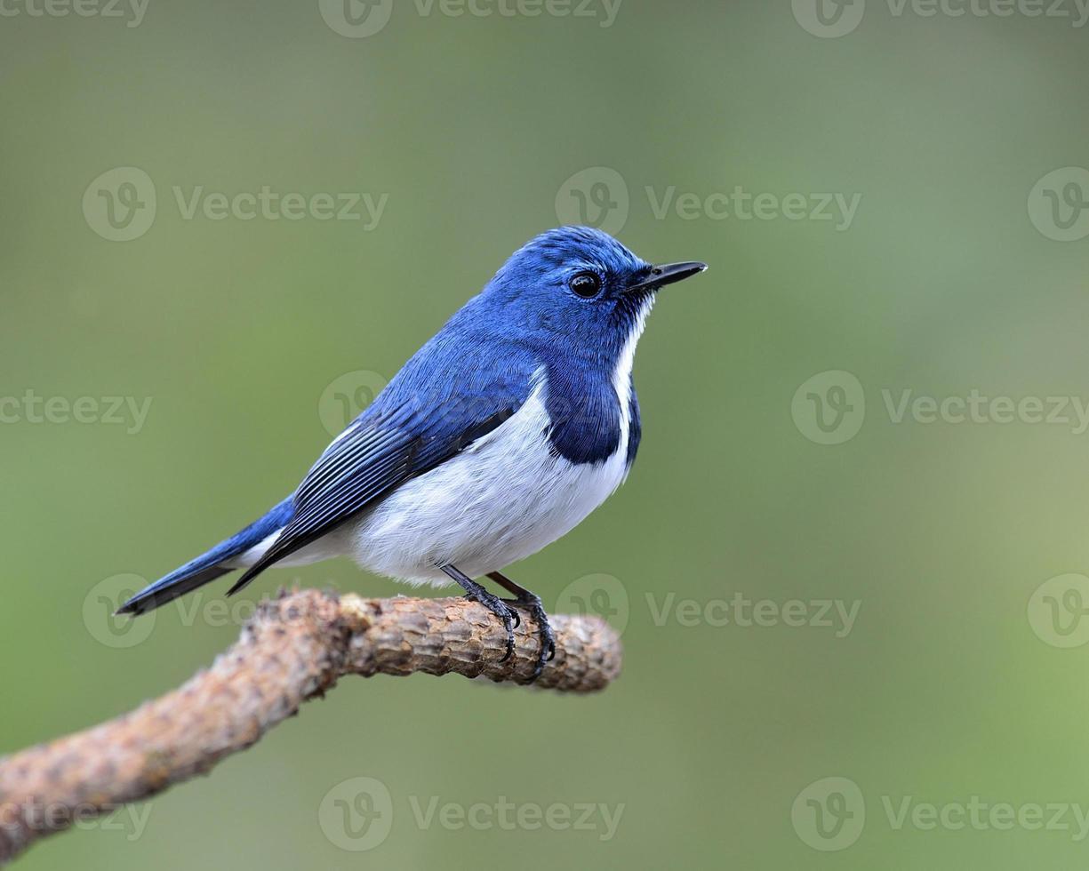 adorável pássaro azul, flycatcher ultramar, empoleirando-se no galho foto