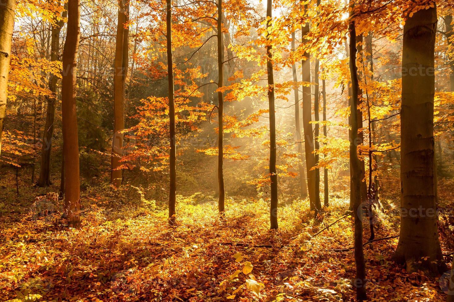 floresta no outono, os raios do sol iluminam a névoa foto