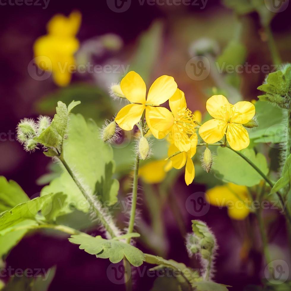 flores de quelidônio foto