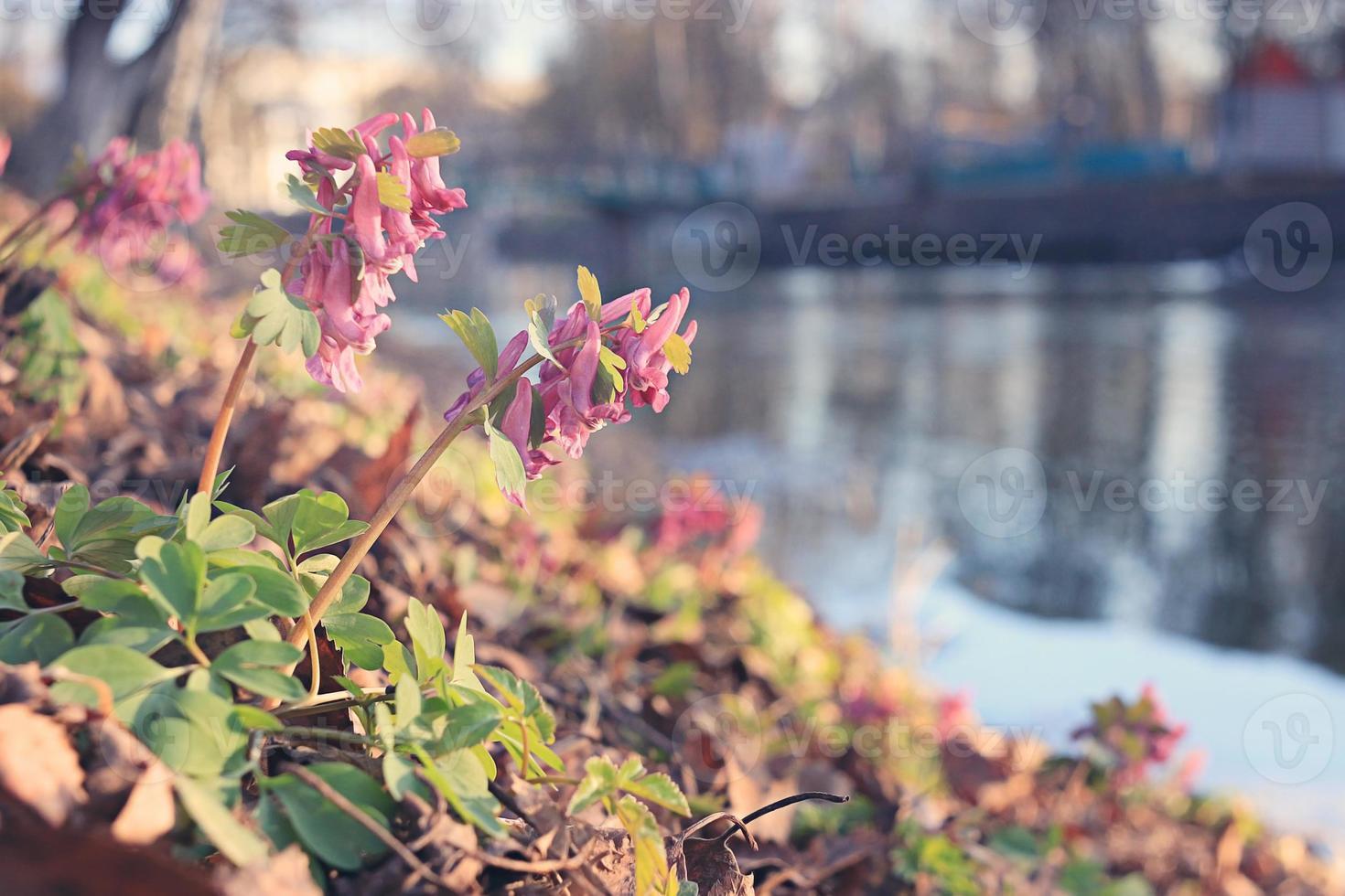 flor de primavera corydalis foto