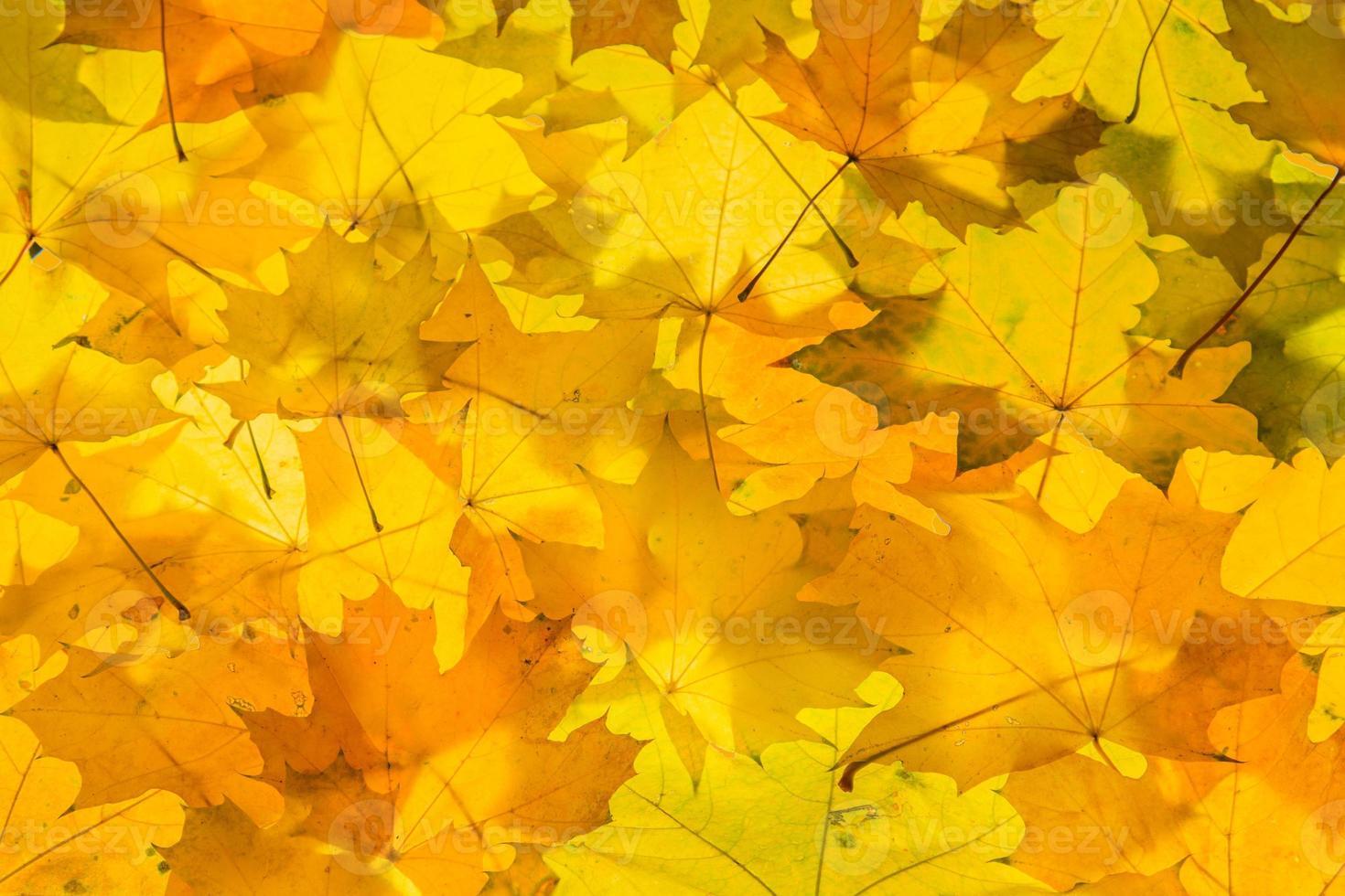 folhas de bordo douradas foto