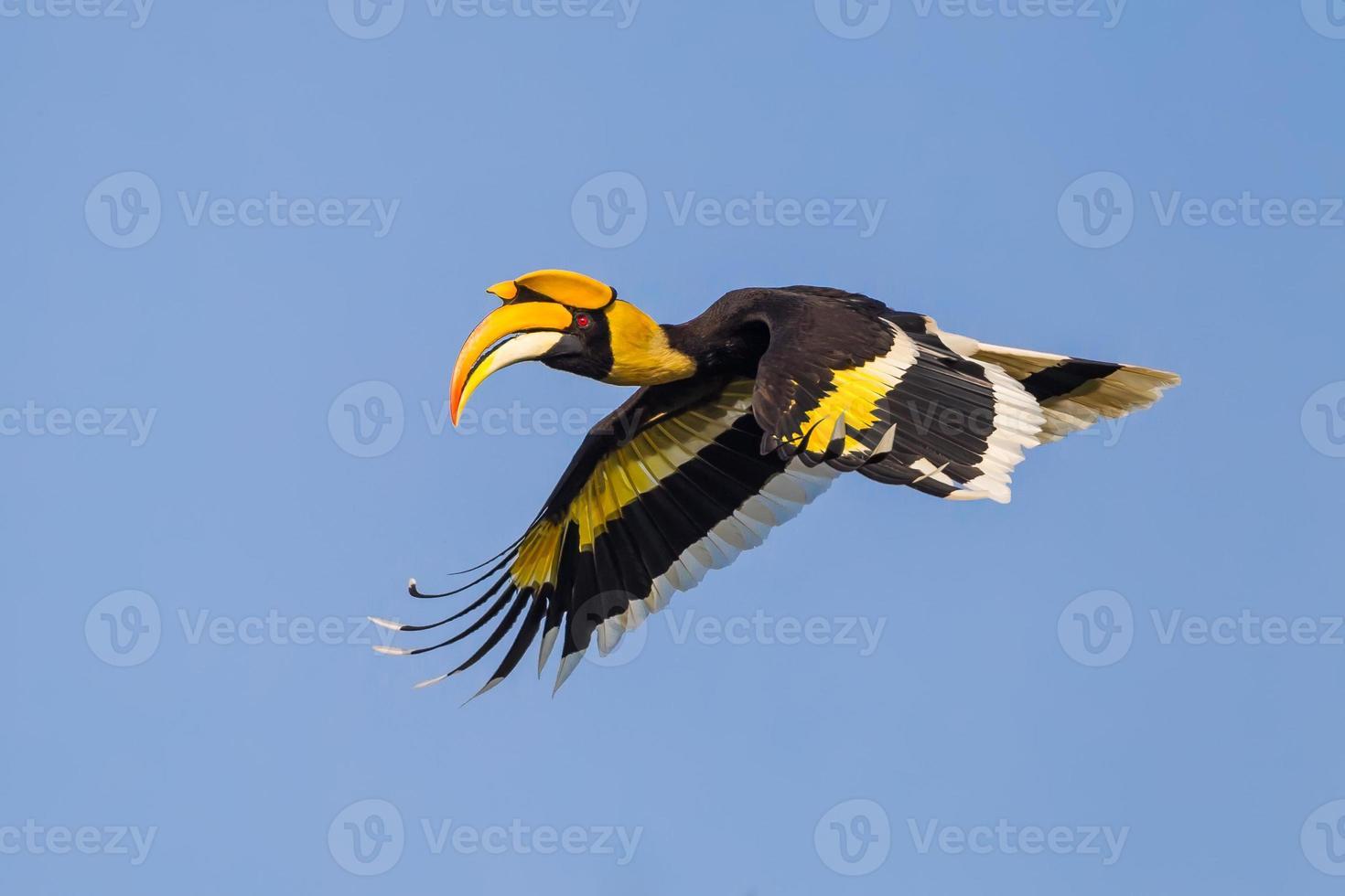 retrato de asas abaixadas de grande calau voador foto