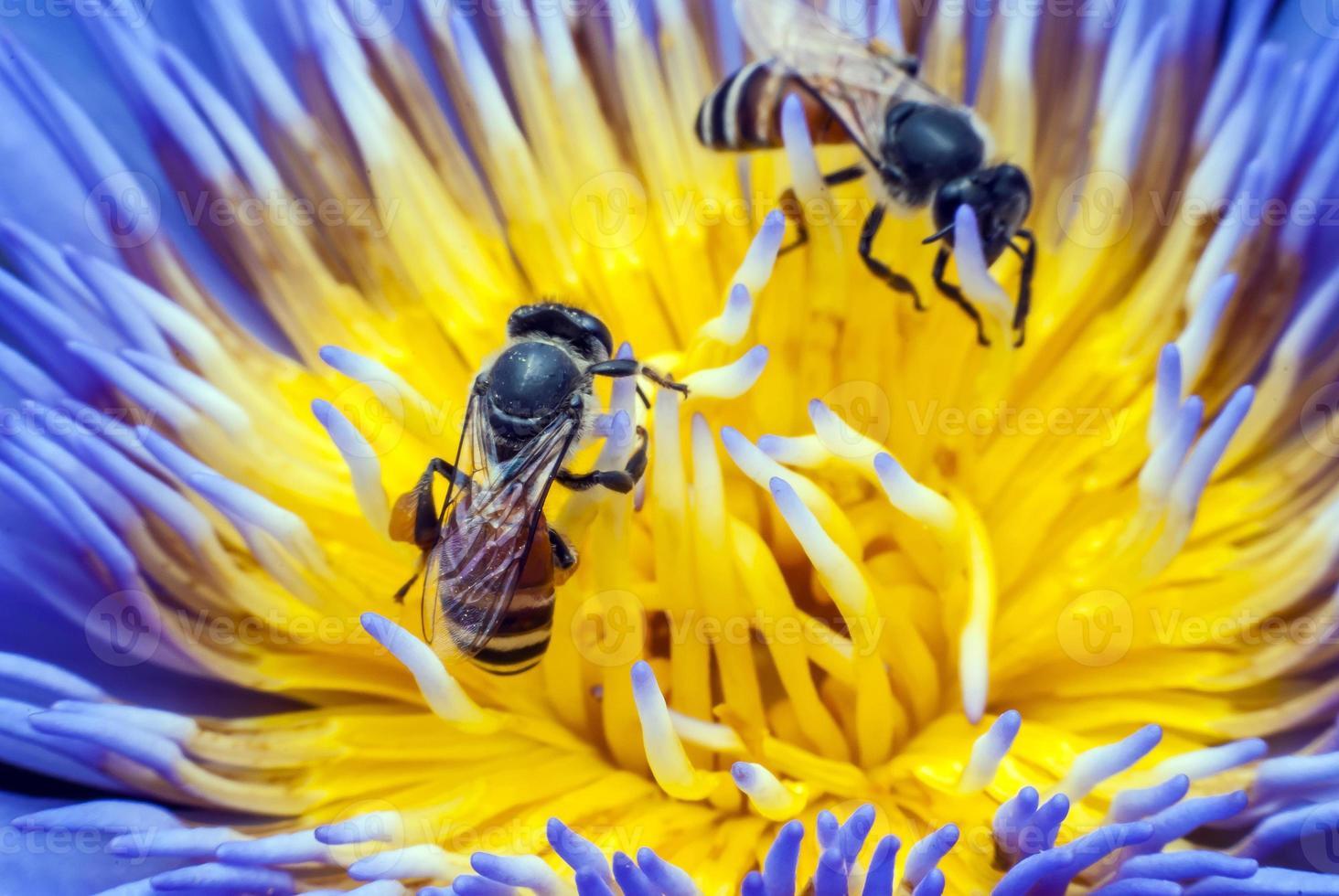 abelha na bela flor de lótus. foto