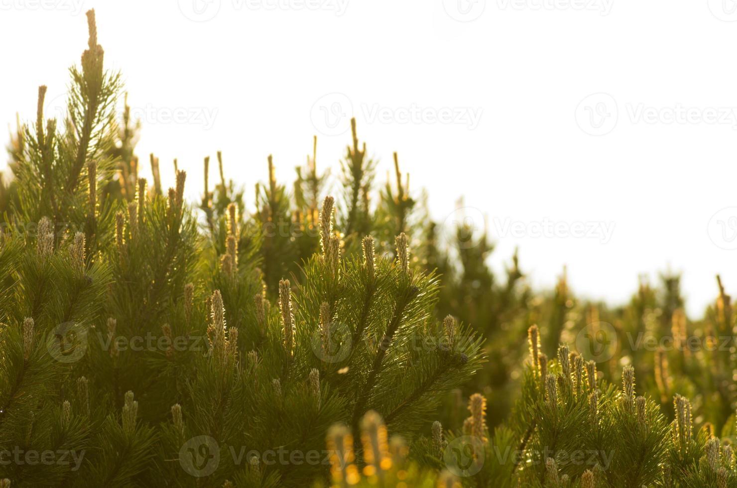 pinheiro closeup foto