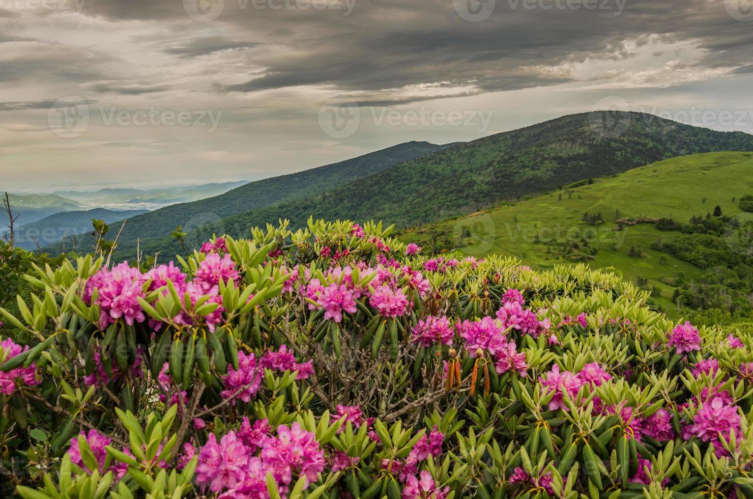 close up de rododendro em jane careca foto