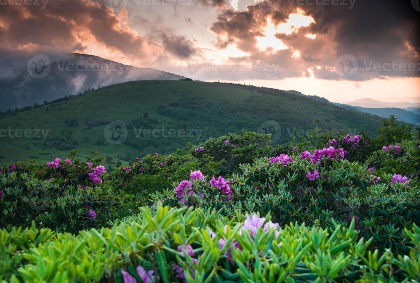 roan rododendron summer bloom 2 foto