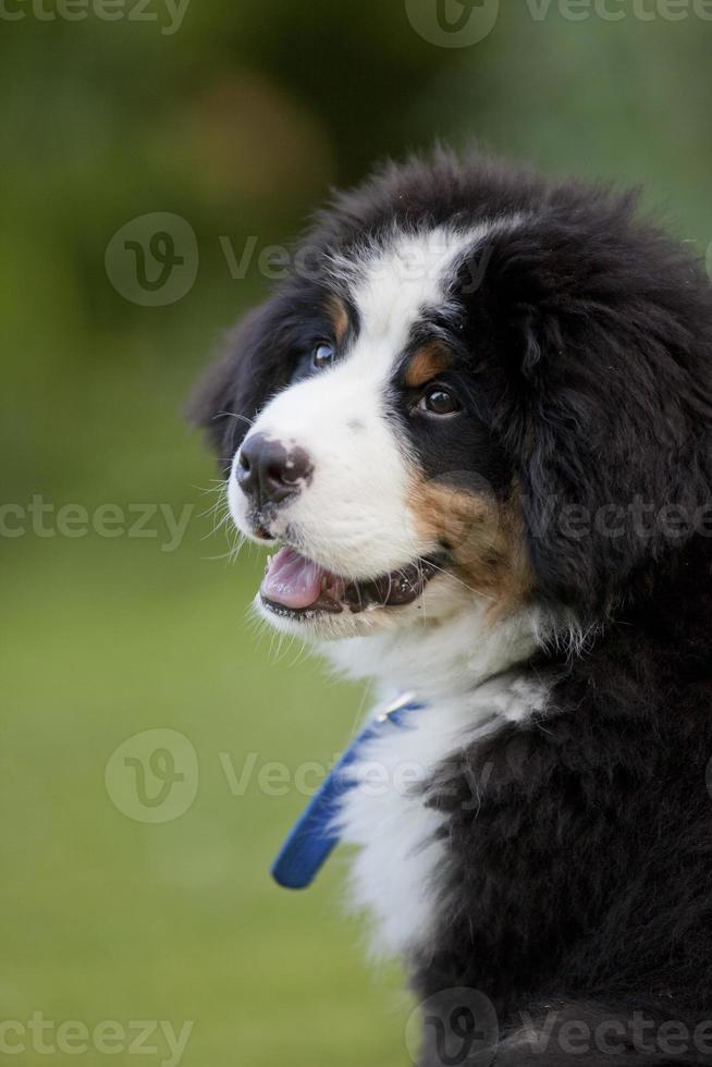 jovem cachorro bernese foto