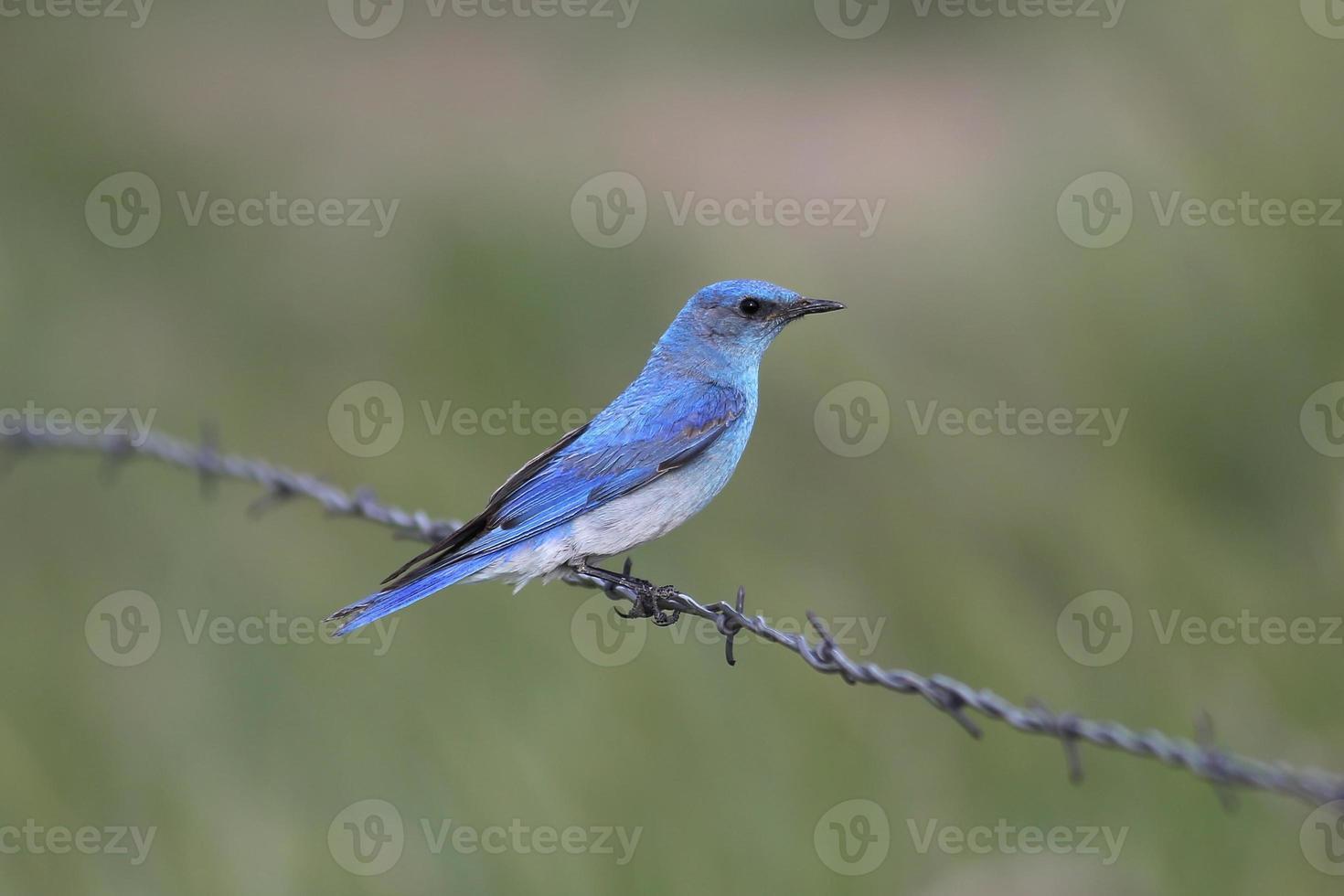 pássaro azul da montanha (sialia currucoides) foto