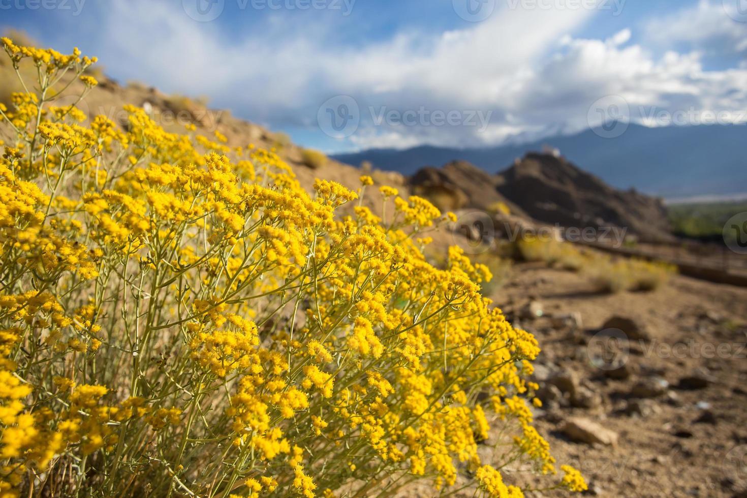 flores à beira da estrada de ladakh foto