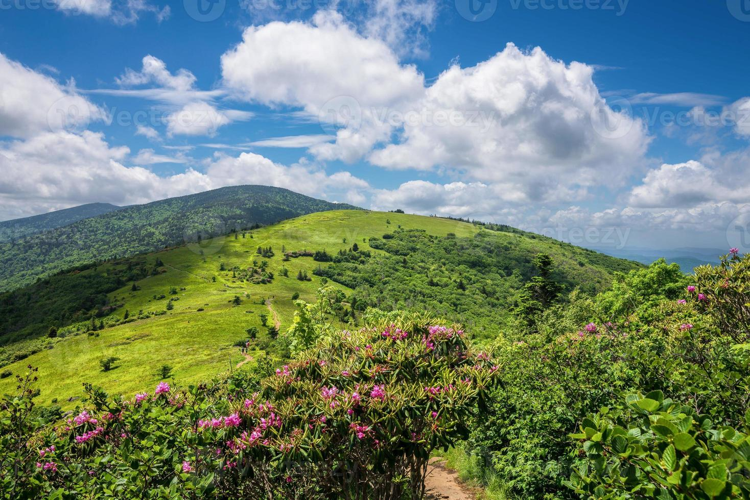 verão roan mountain bloom foto