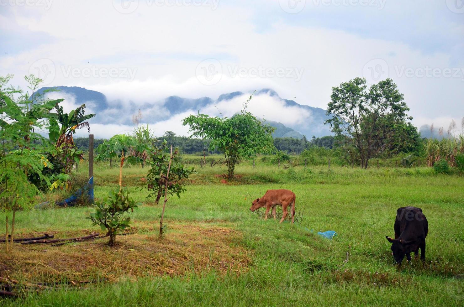 fazenda de vacas agrícolas com montanha foto