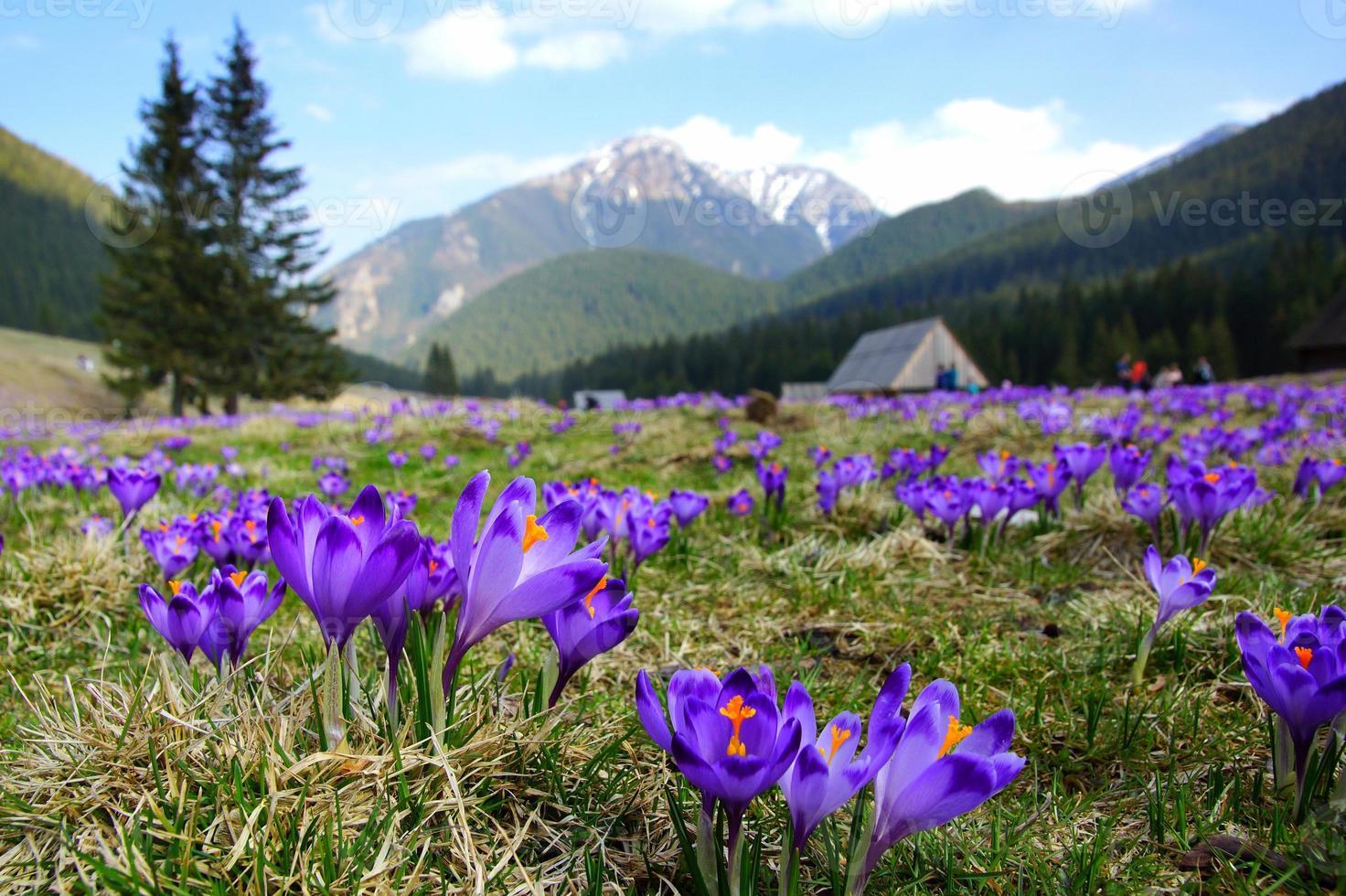 açafrões no vale de chocholowska, montanhas tatra, polônia foto