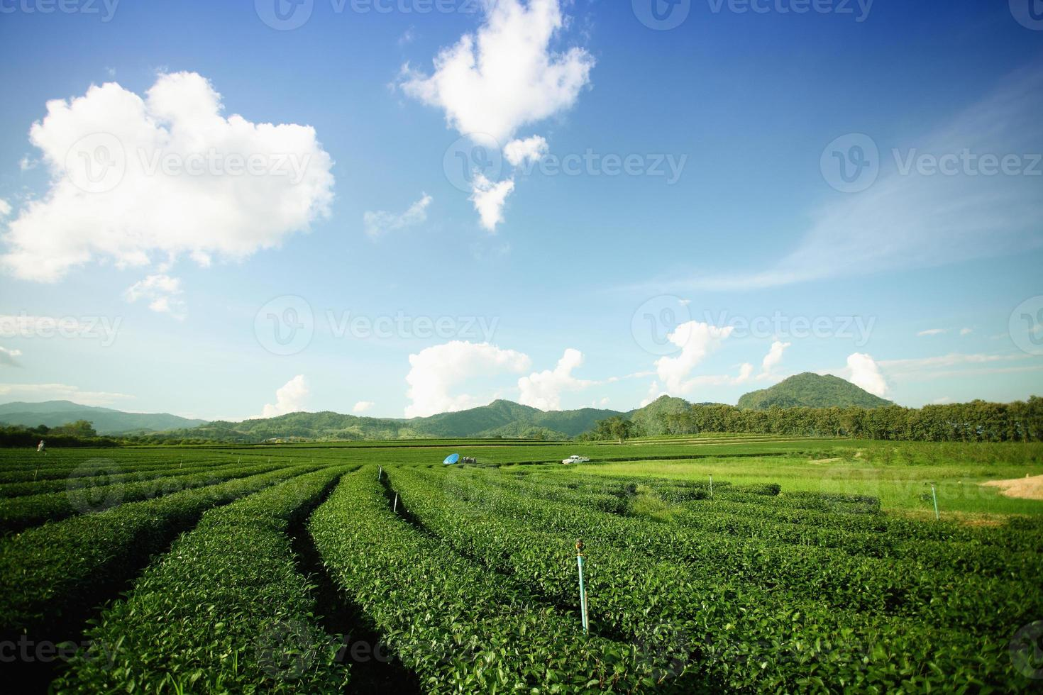 montanha de chá foto
