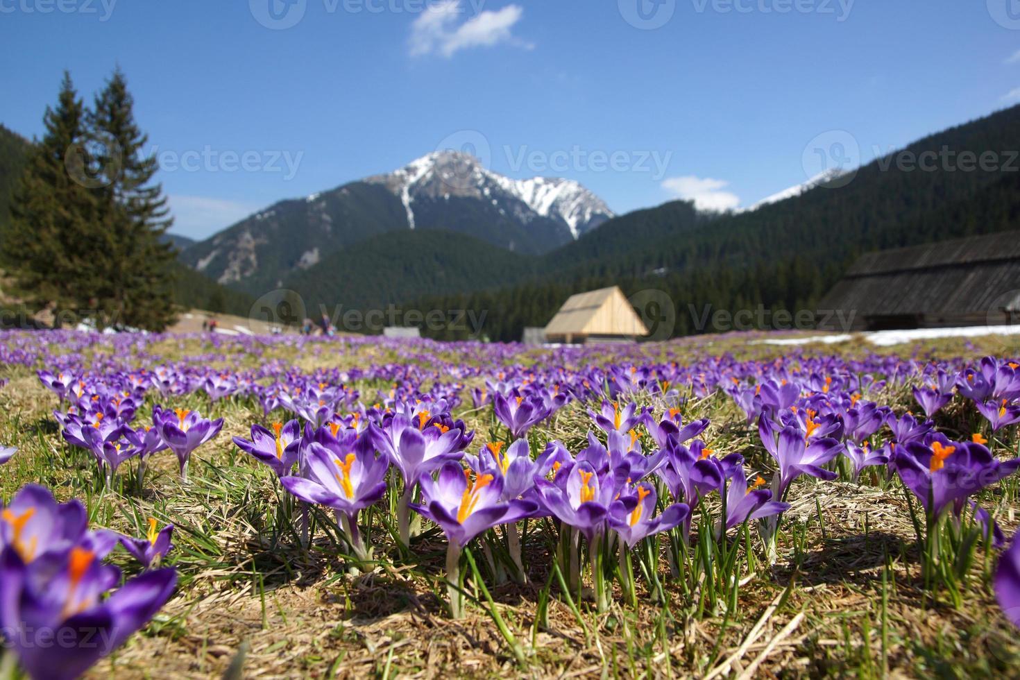 açafrões no vale de chocholowska, montanha tatra, polônia foto