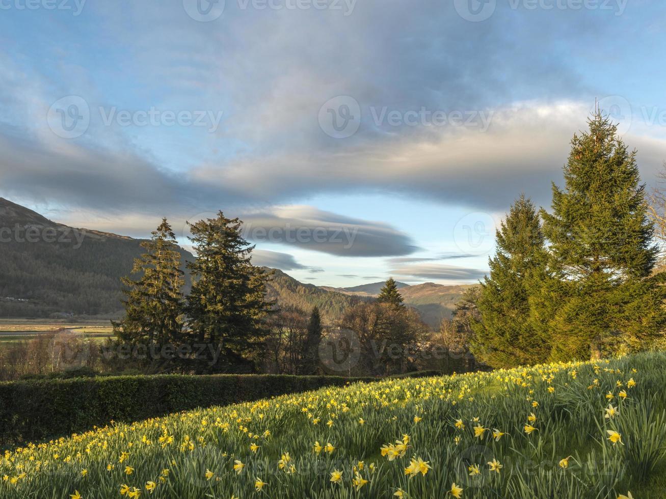 paisagem galesa - narciso da primavera em penmaenpool foto