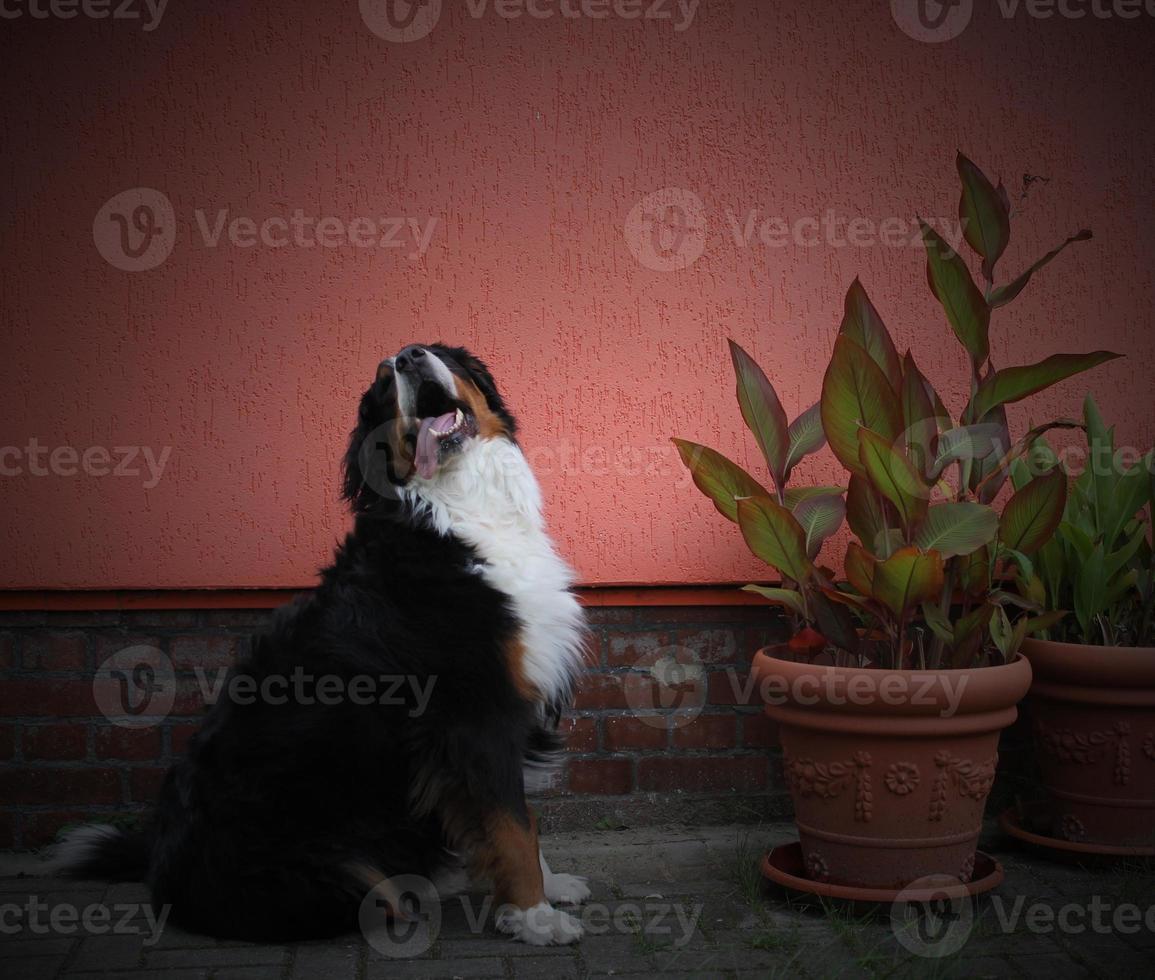 cachorro da montanha bernese além de plantas foto