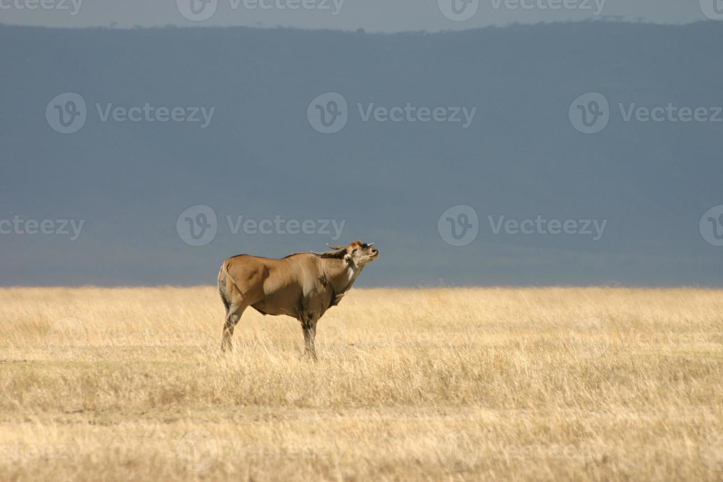antílope elã comum (taurotragus oryx), ngorongoro, tanzânia foto