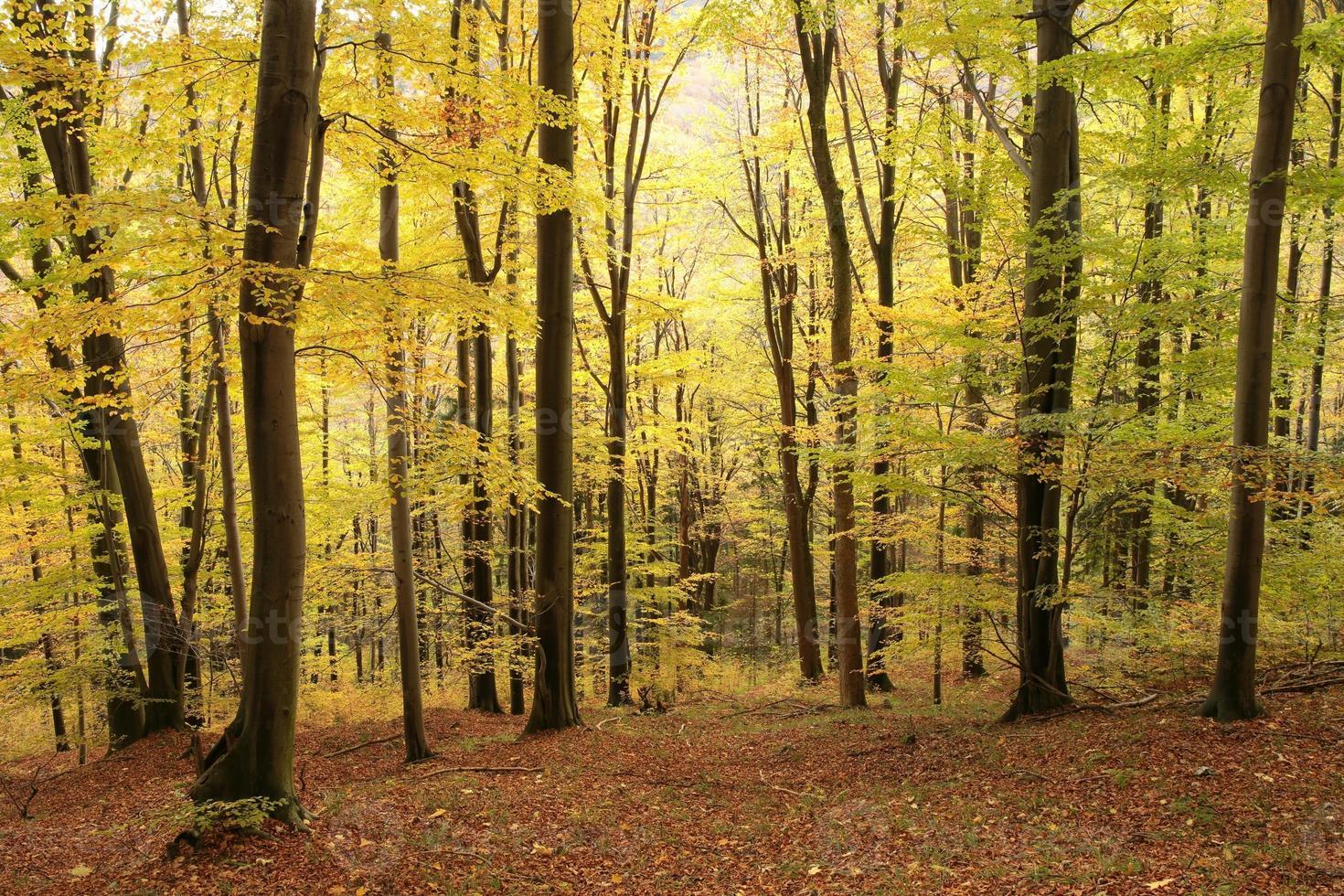 floresta outonal de faias foto