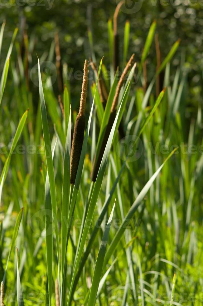 plantas de junco no pântano foto
