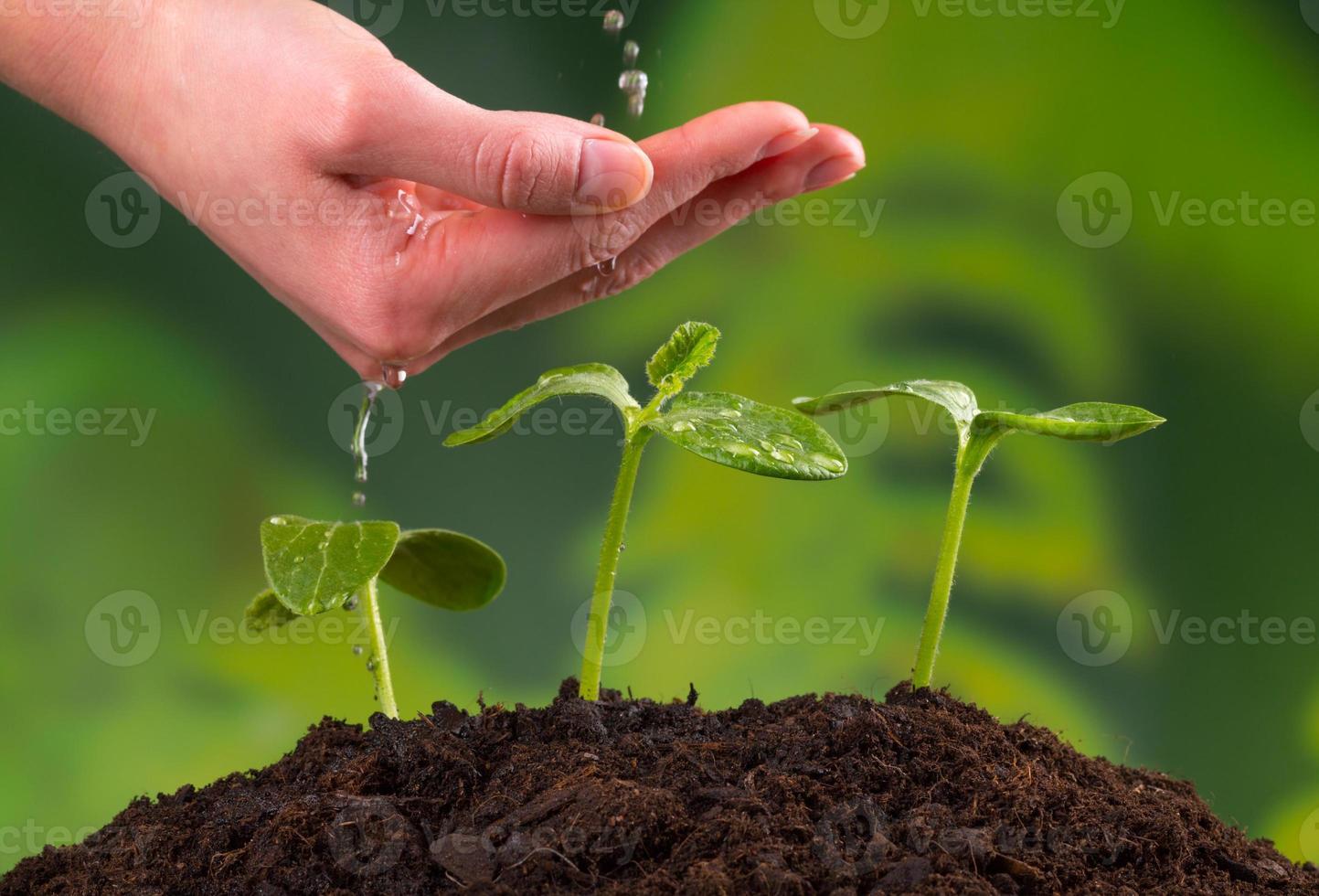 mão de uma mulher regando plantas jovens foto