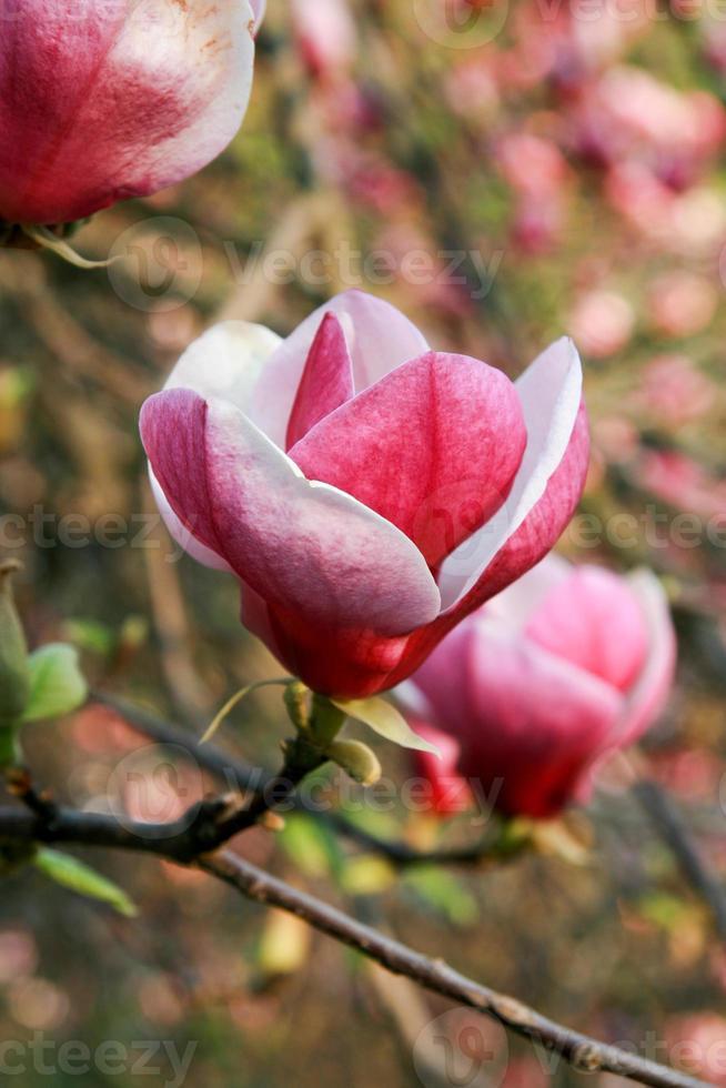 desabrochar de flores de magnólia na primavera foto
