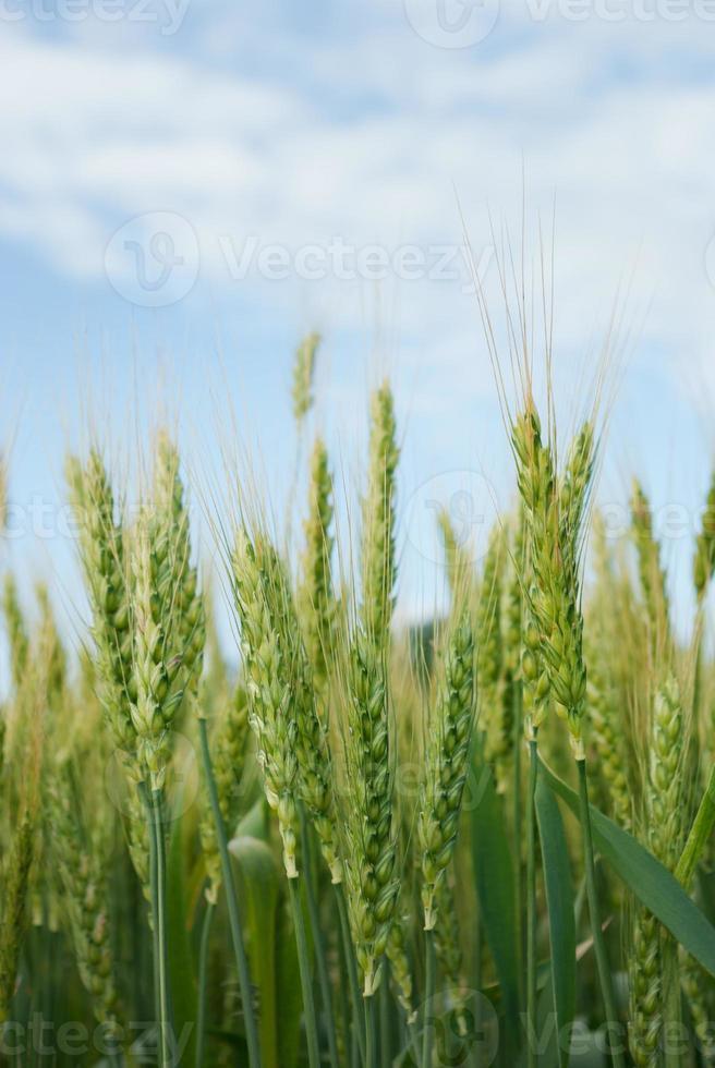 jovens espigas de grãos no fundo do céu azul foto