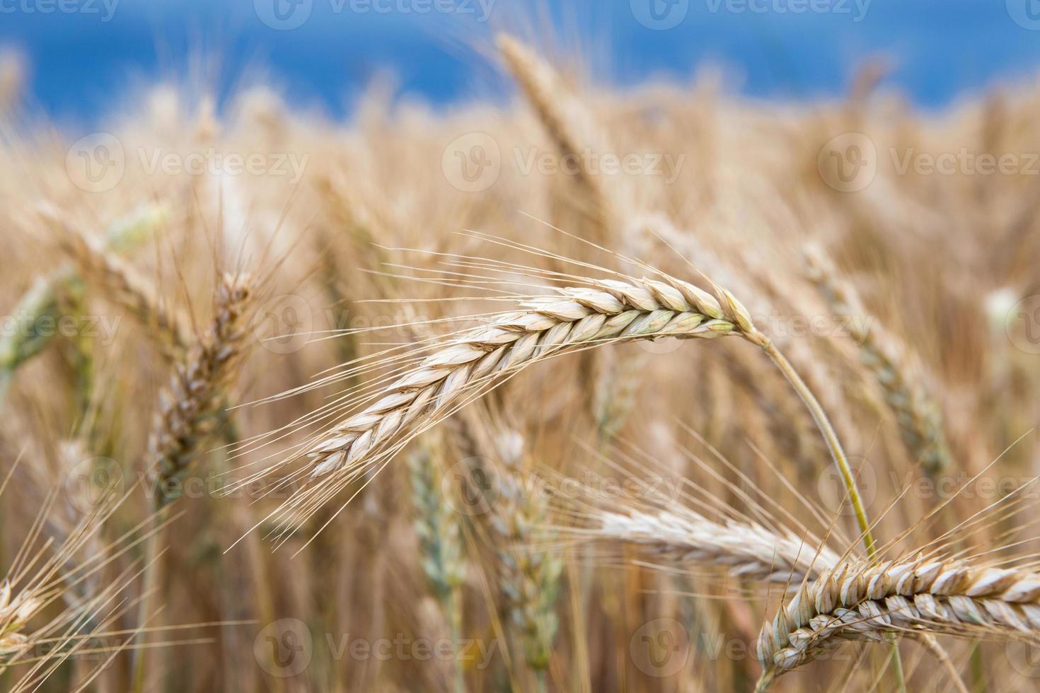 campo de ouro de trigo antes da tempestade foto
