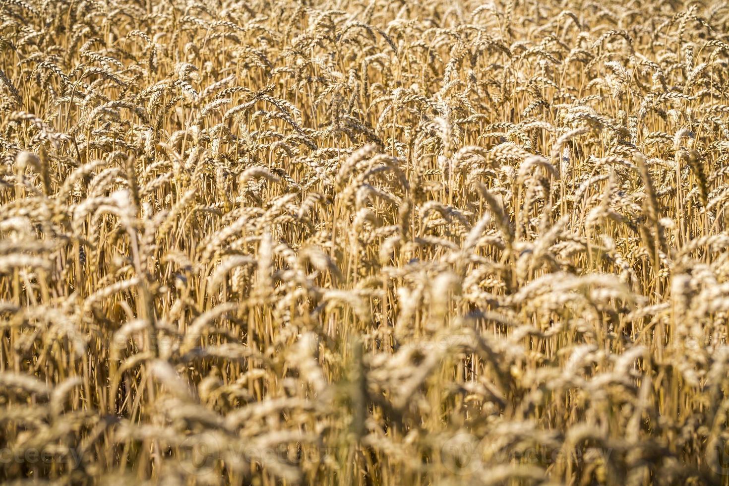close-up de um campo de trigo no verão foto