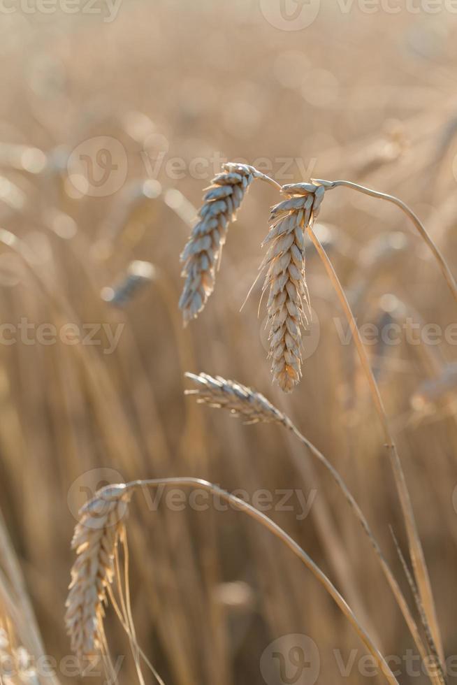 close-up dourado maduro trigo espiga campo de cereais verão antes da colheita foto