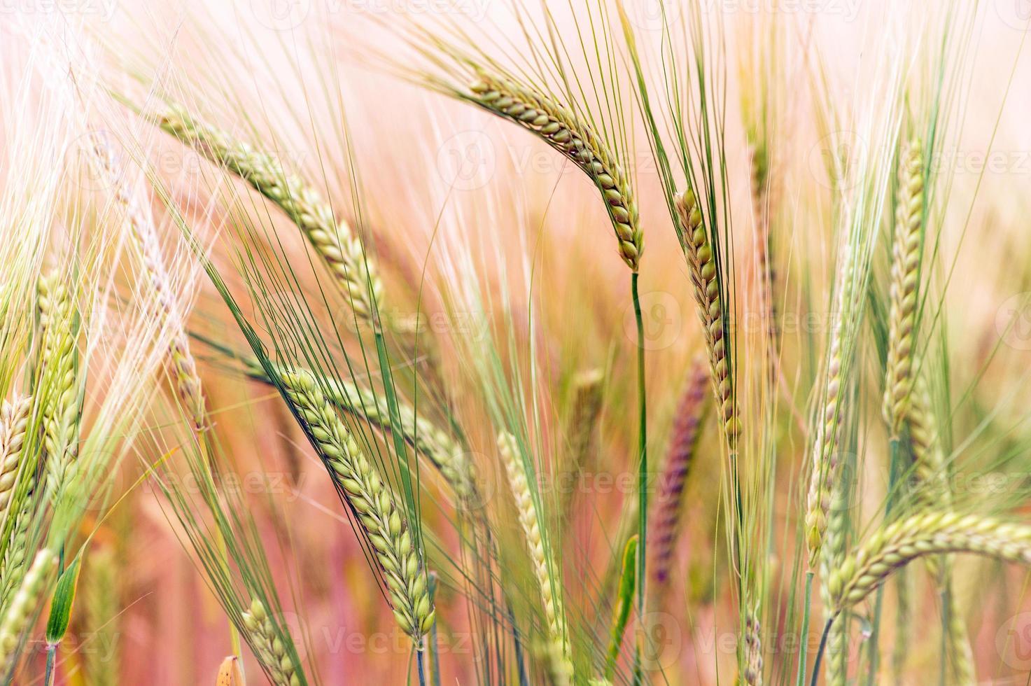 campo de cultivo verde e dourado foto