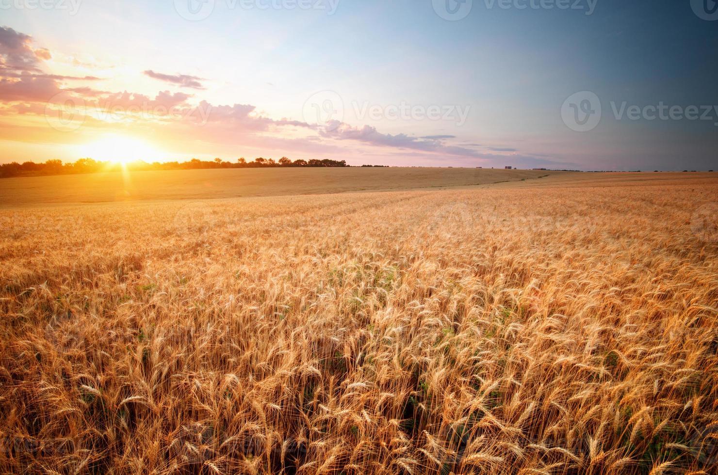 prado de trigo. foto