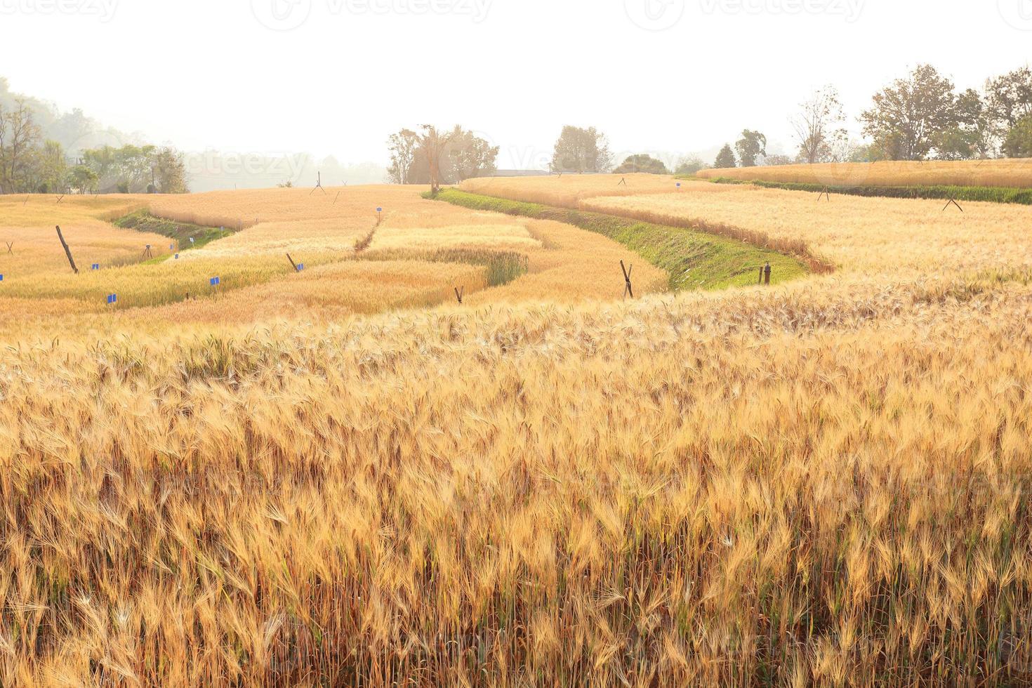 campo de cevada da agricultura cena rural foto